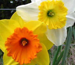daffodil-blooms