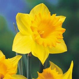 daffodil-day