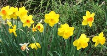 daffodil-flowers-mixed