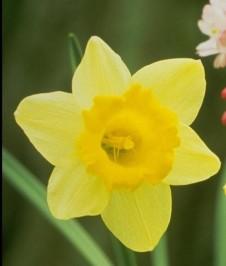 daffodils40312s